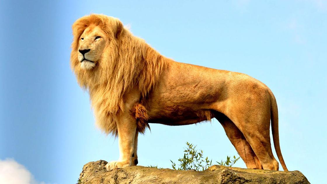 Дикая природа Африки: лев