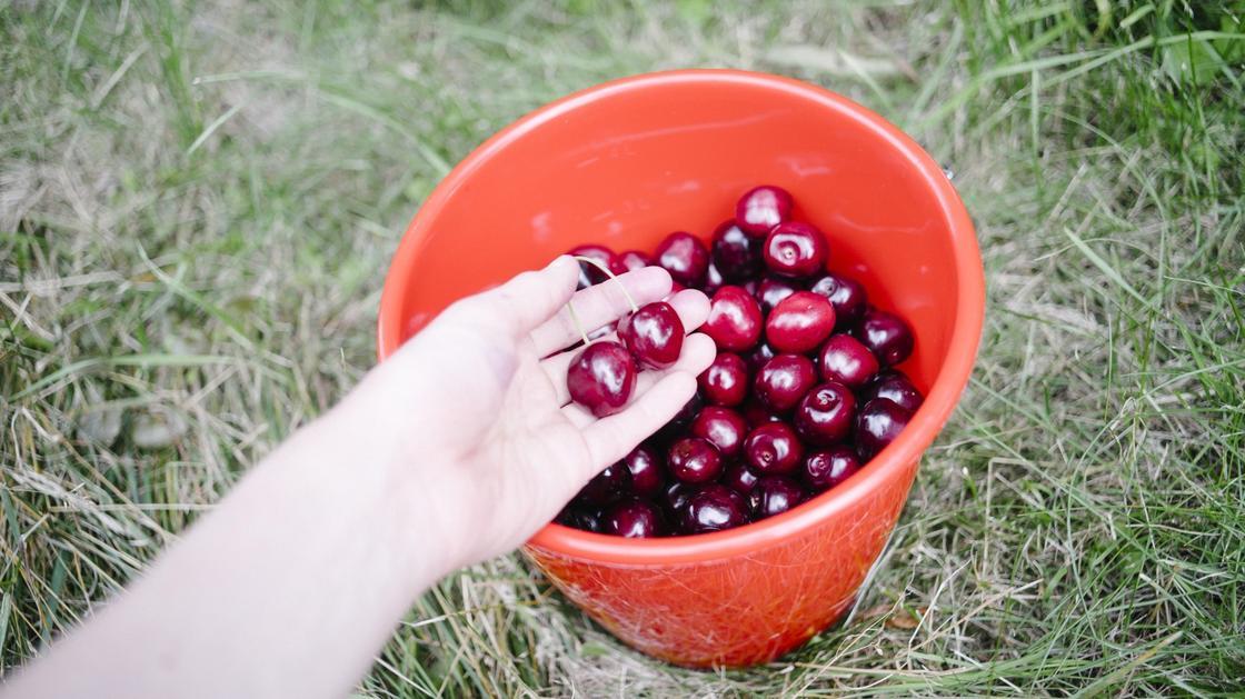 В ведро с ягодами кладут вишни