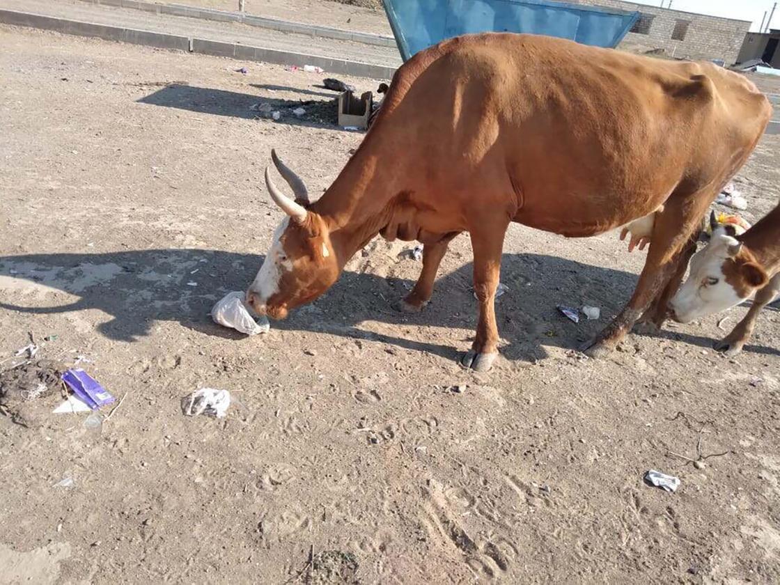Корова ест мусор в Атырау