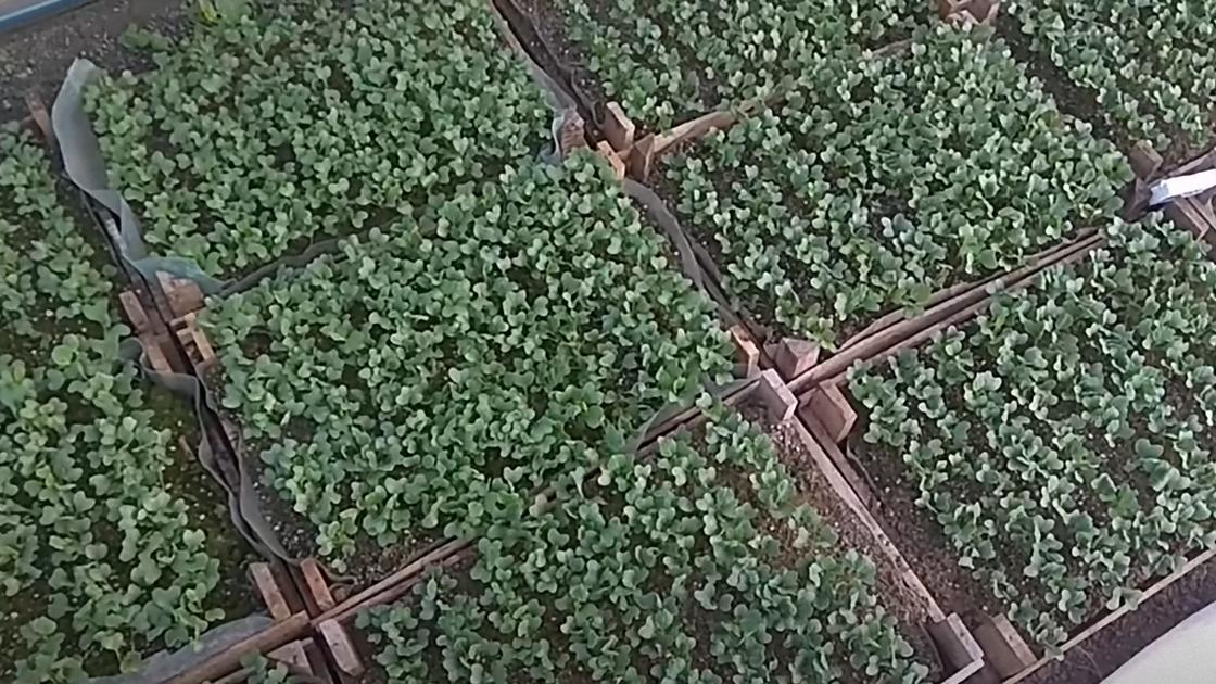 Рассада капусты растет в больших деревянных ящиках