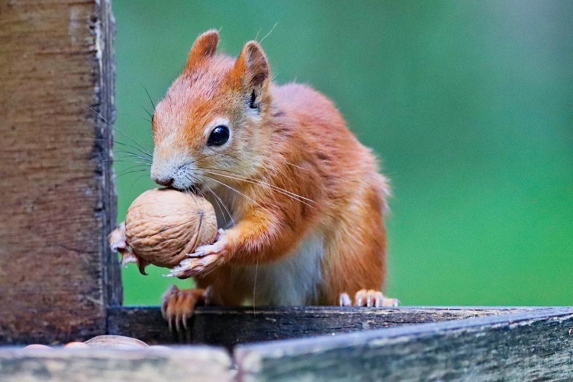 Белка держит в лапах грецкий орех