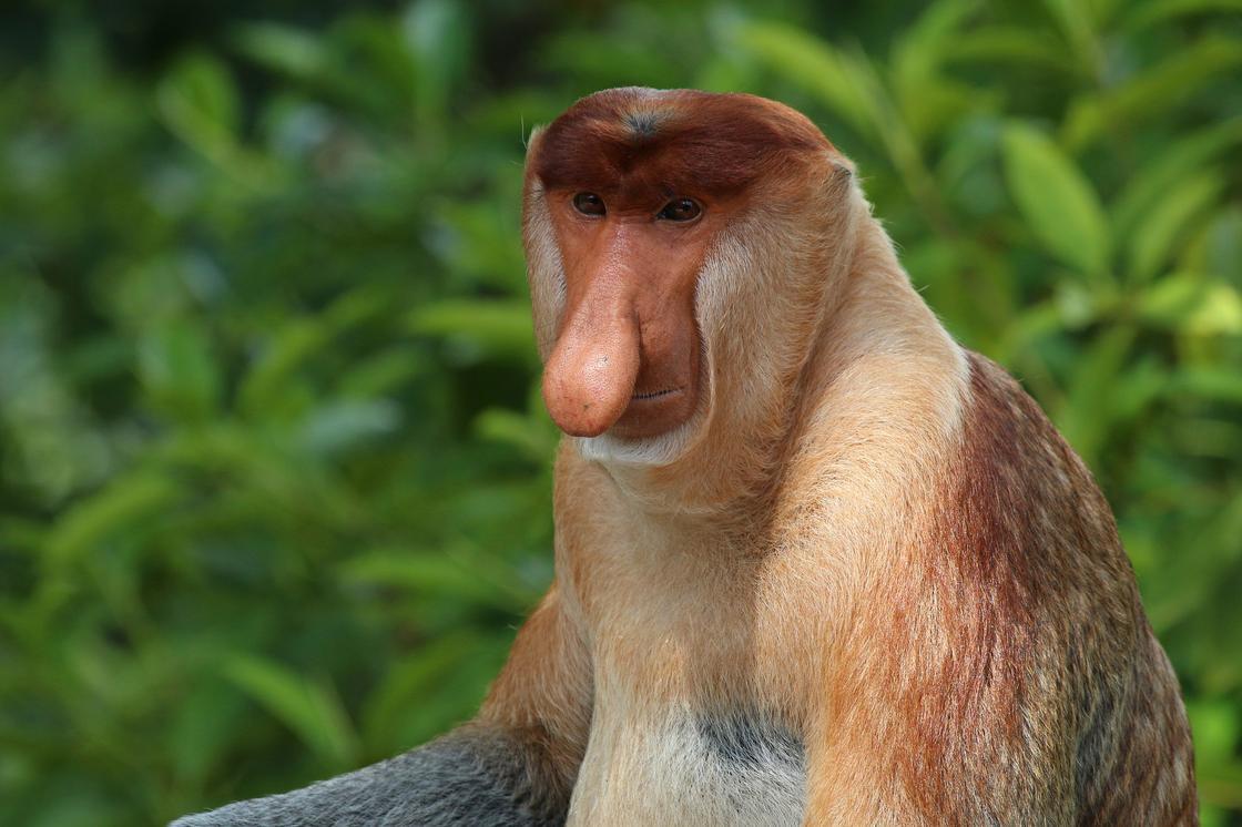 обезьяна с большим носом