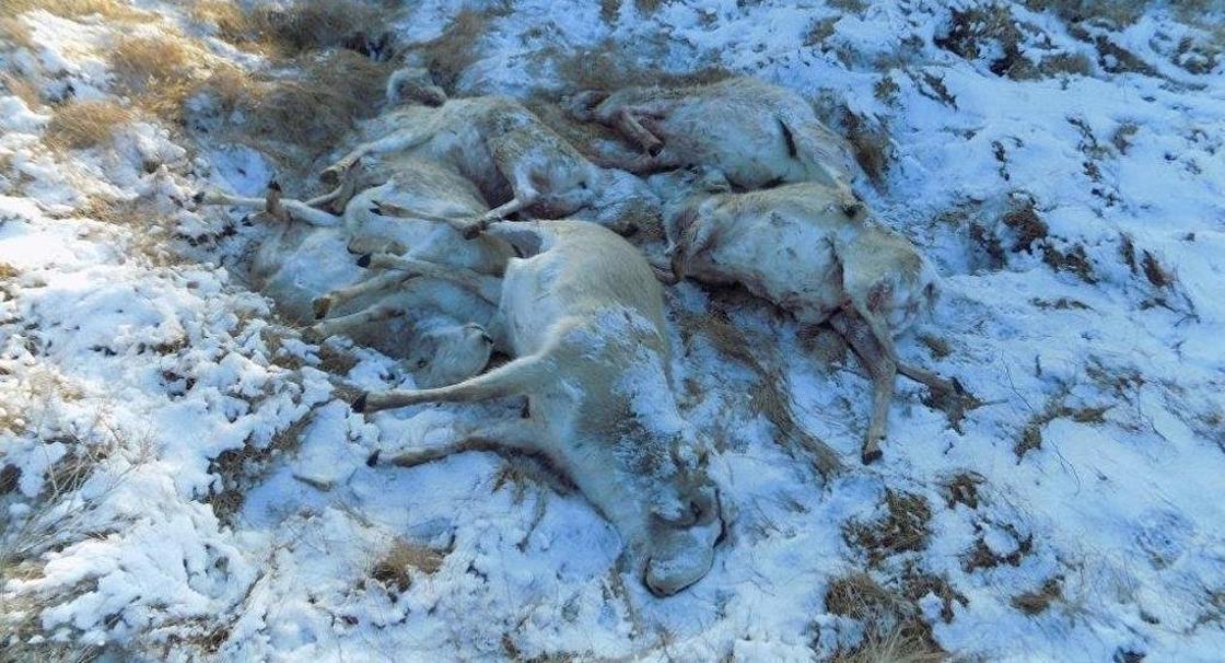 50 туш сайги с отпиленными рогами нашли в Карагандинской области