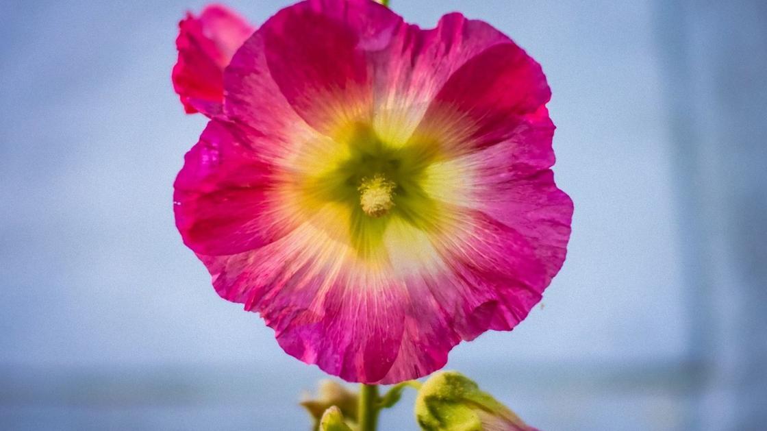 Цветок мальвы малинового цвета с желтой серединкой