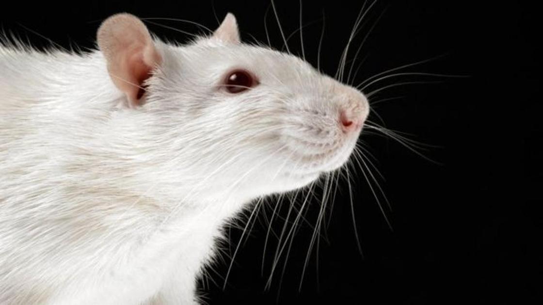 Зависимость от алкоголя у крыс удалось вылечить прицельным лазерным облучением