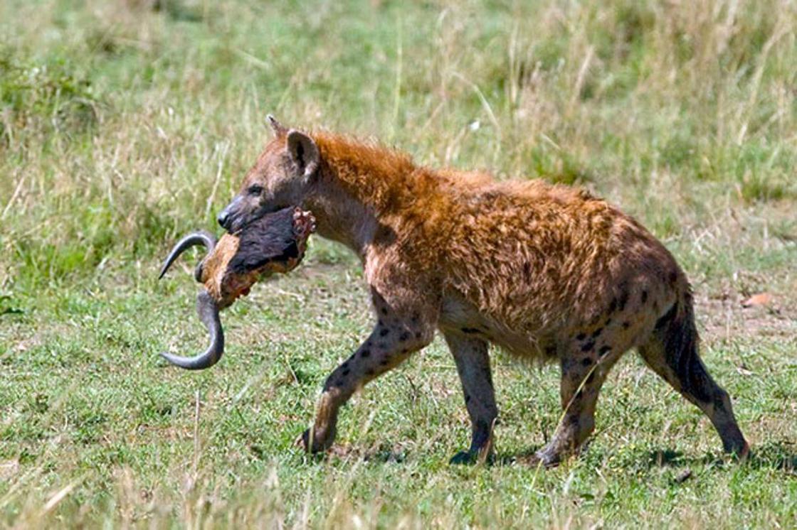 Дикая природа Африки: пятнистая гиена