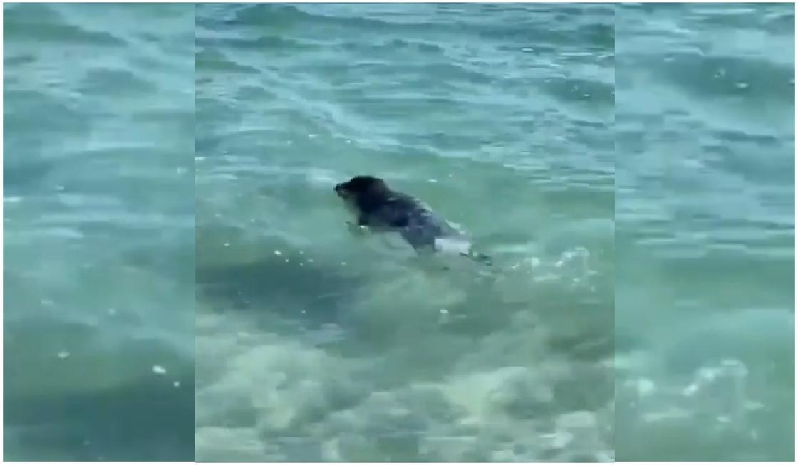 Детеныша тюленя забросали камнями в Актау