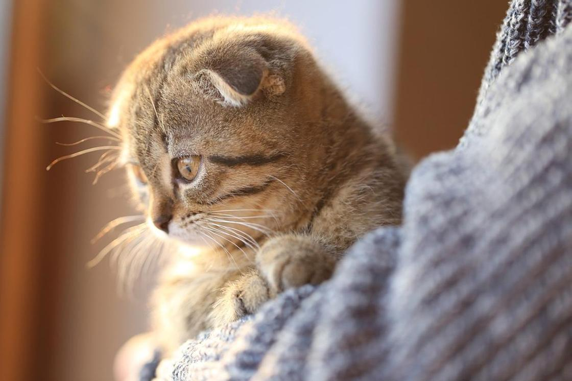Британская короткошерстная кошка: котенок