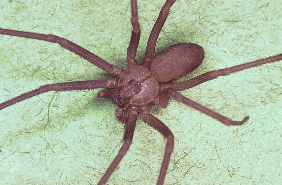 Шестиглазый паук