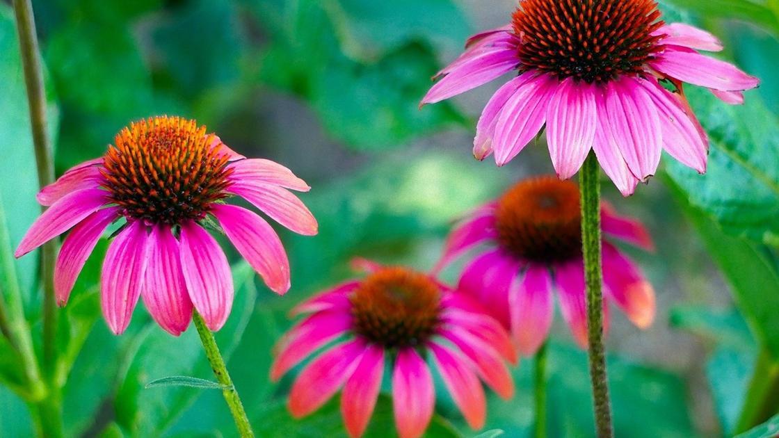 Цветки эхинацеи с розовыми лепестками