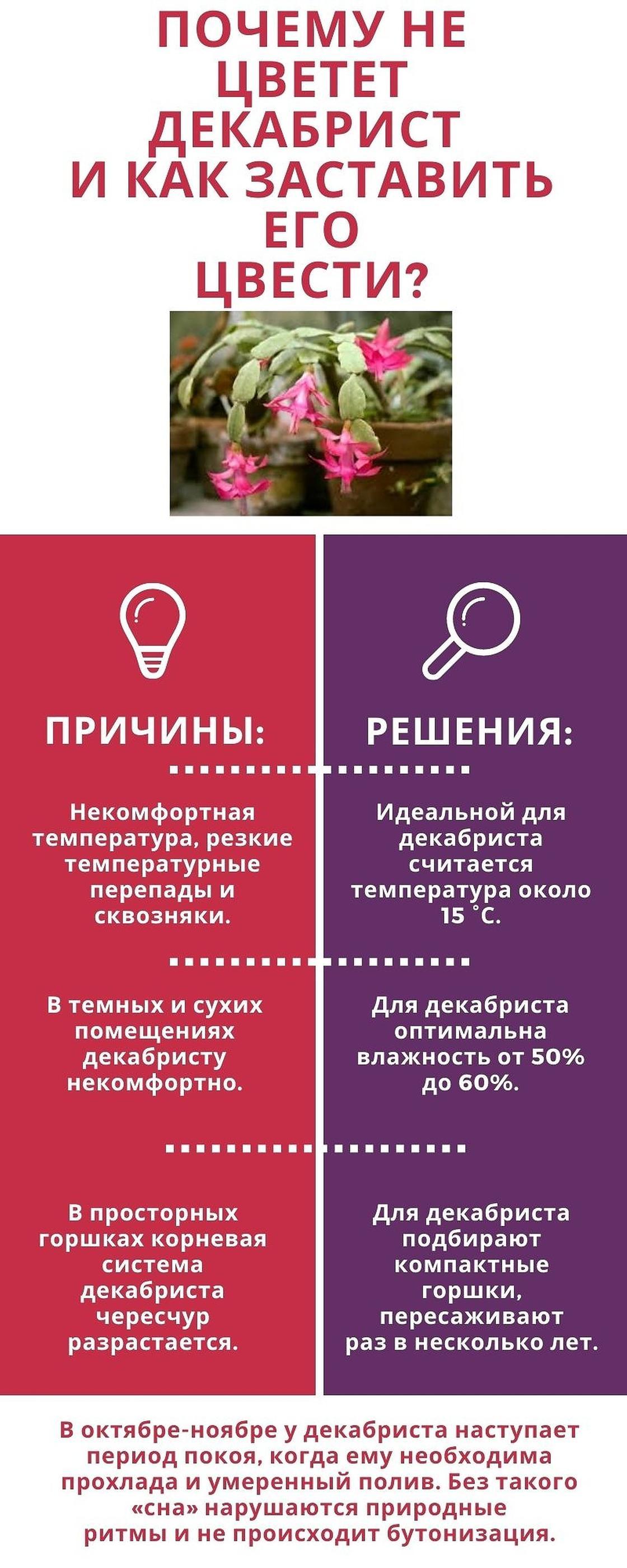 Почему не цветет декабрист. Инфографика