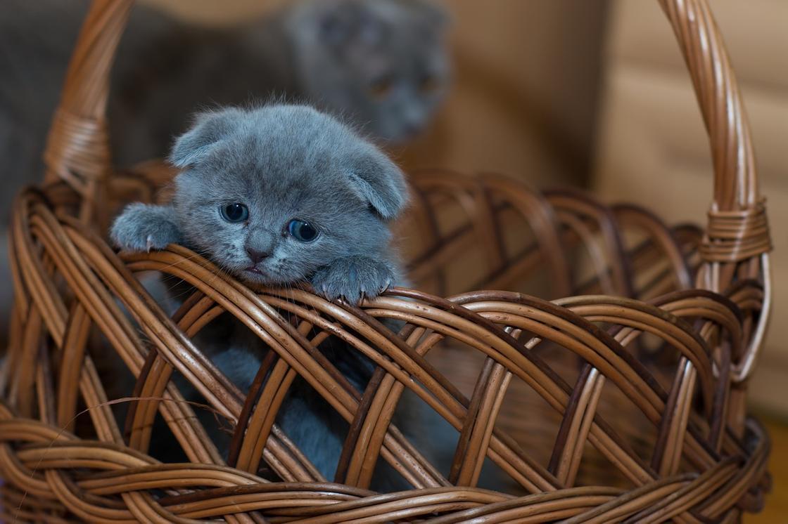 серый котенок в корзинке