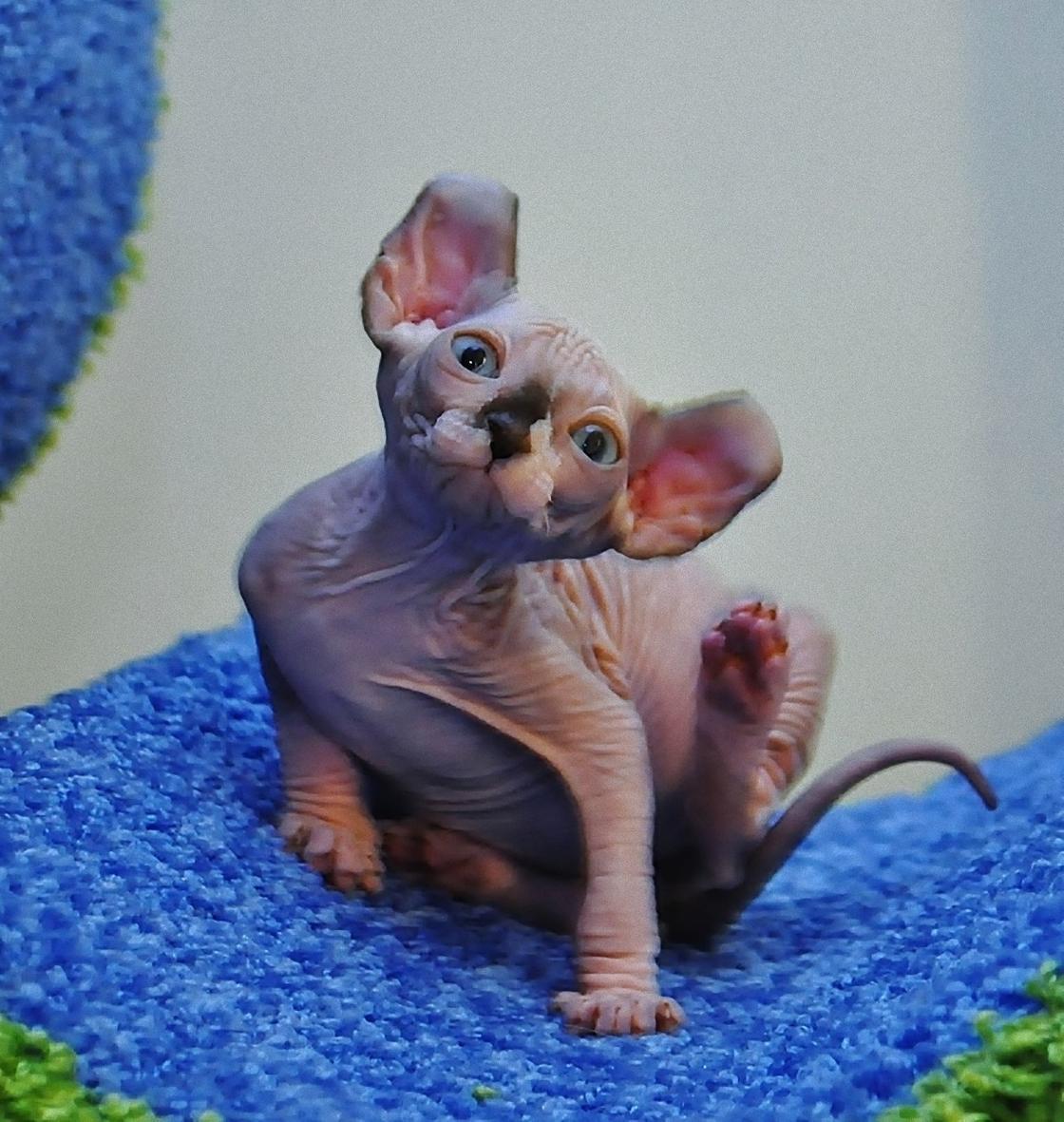 Лысая кошка породы двельф