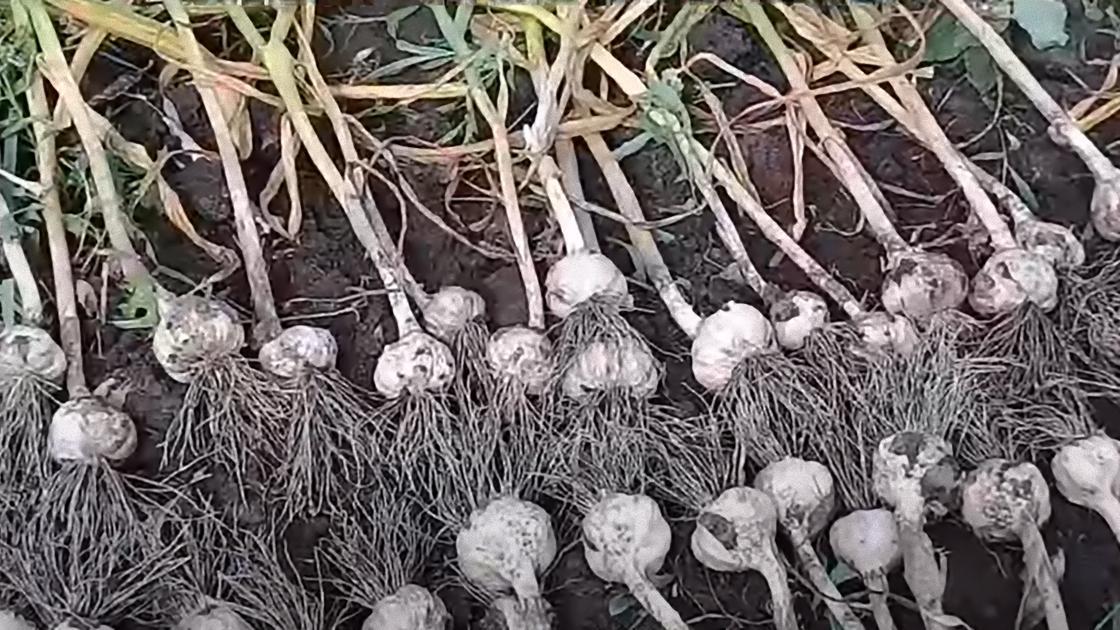 На земле лежит рядами вырванный чеснок со стеблями и корнями