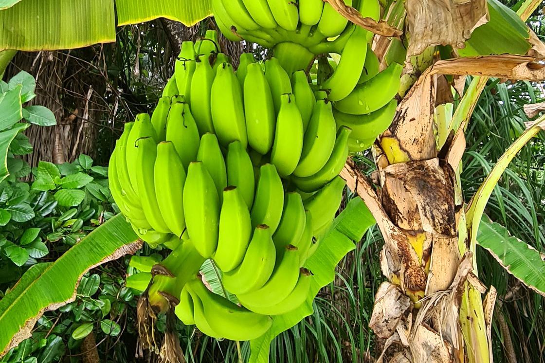 Бананы растут на пальме