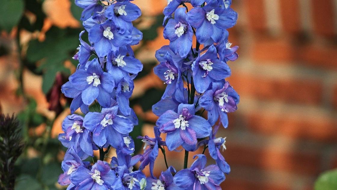 Цветоносы дельфиниума с синими цветками