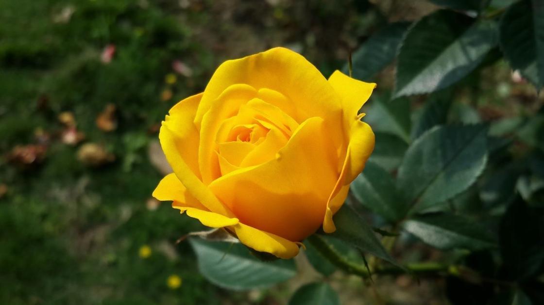 Ярко-желтая роза на кусте