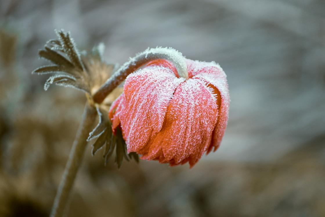 Иней на цветке