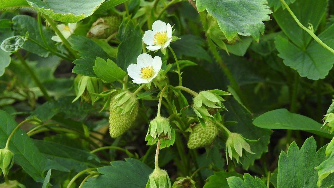 Куст клубники с цветами и созревающими ягодами