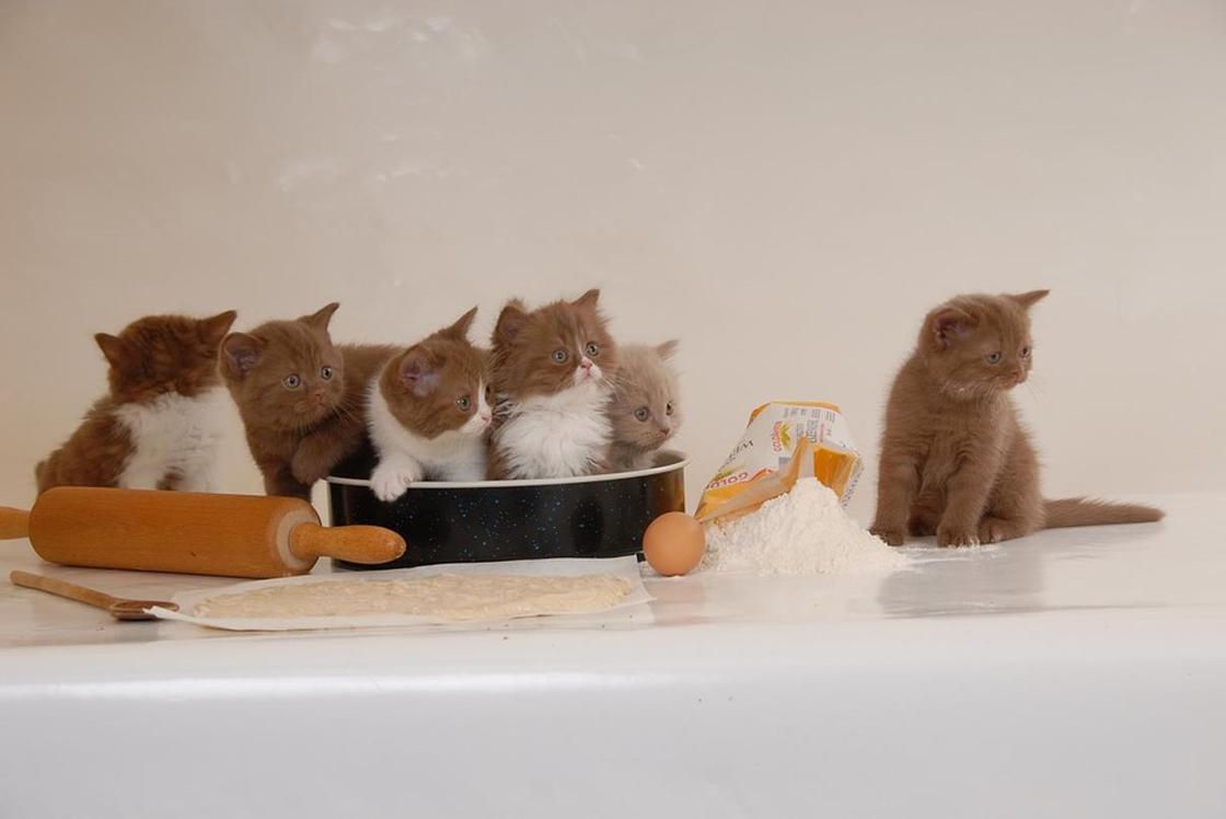 Британская короткошерстная кошка: котята