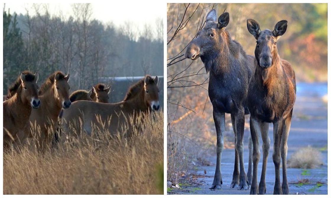 Животные из Чернобыля появились на снимках в Сети