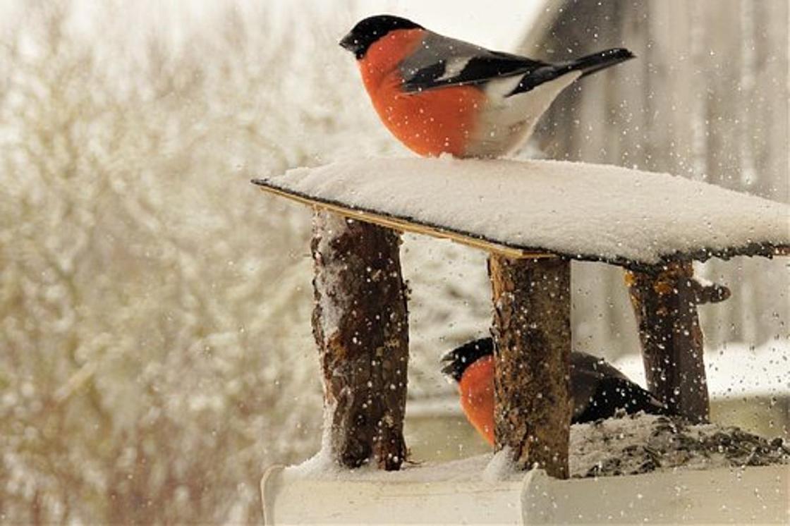 Снегирь: описание, образ жизни, особенности