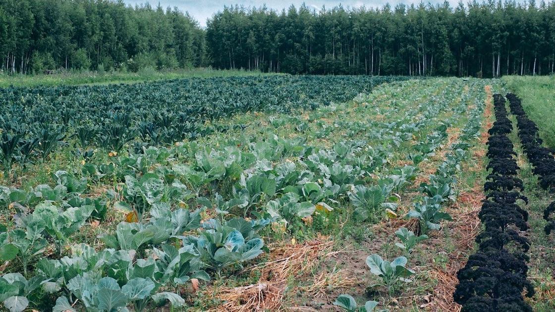 Рассада капусты разных сортов рядами высажена в открытый грунт