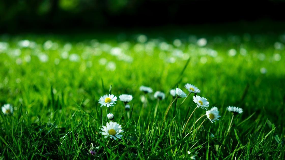 Трава и белые цветочки на газоне