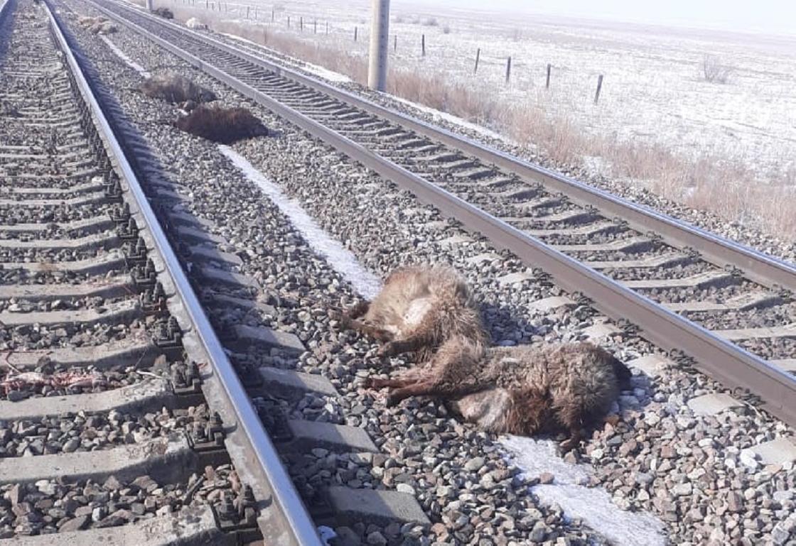 Овец сбили в Алматинской области