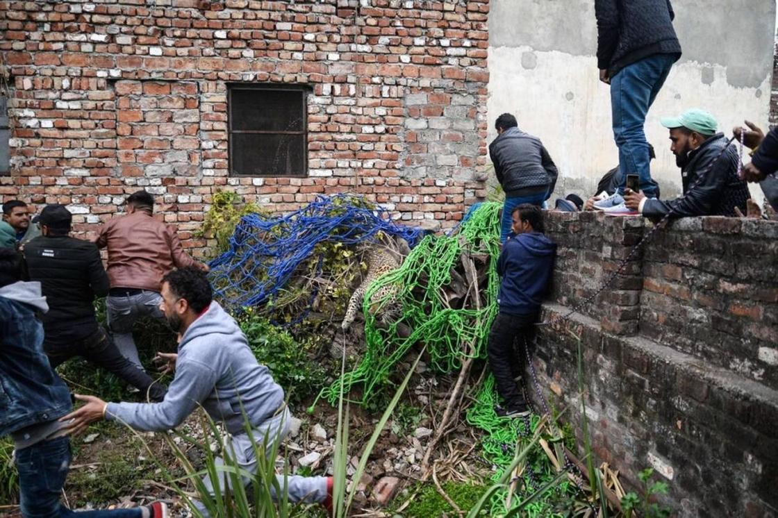 Дикий леопард вызывал панику в индийском городе
