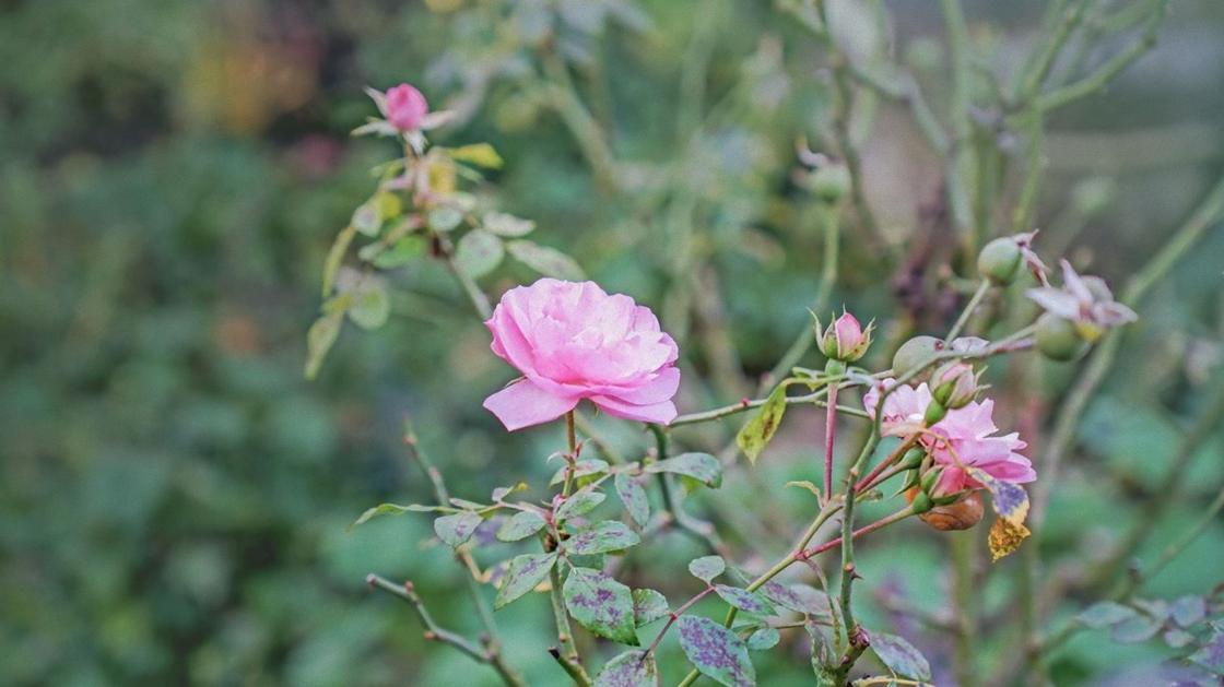 Роза с нежными розовыми лепестками на кусте