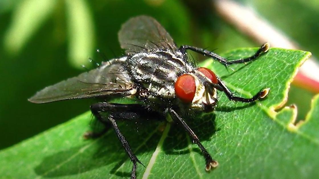 Капустная муха на листке