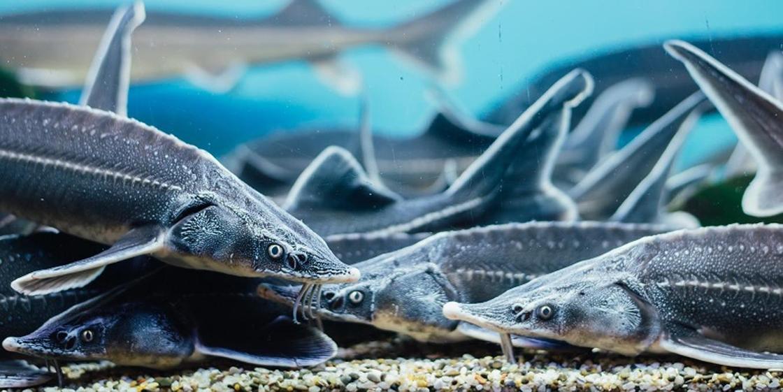 Рыба была искусственно выращена: МСХ о массовой гибели рыбы на Урале