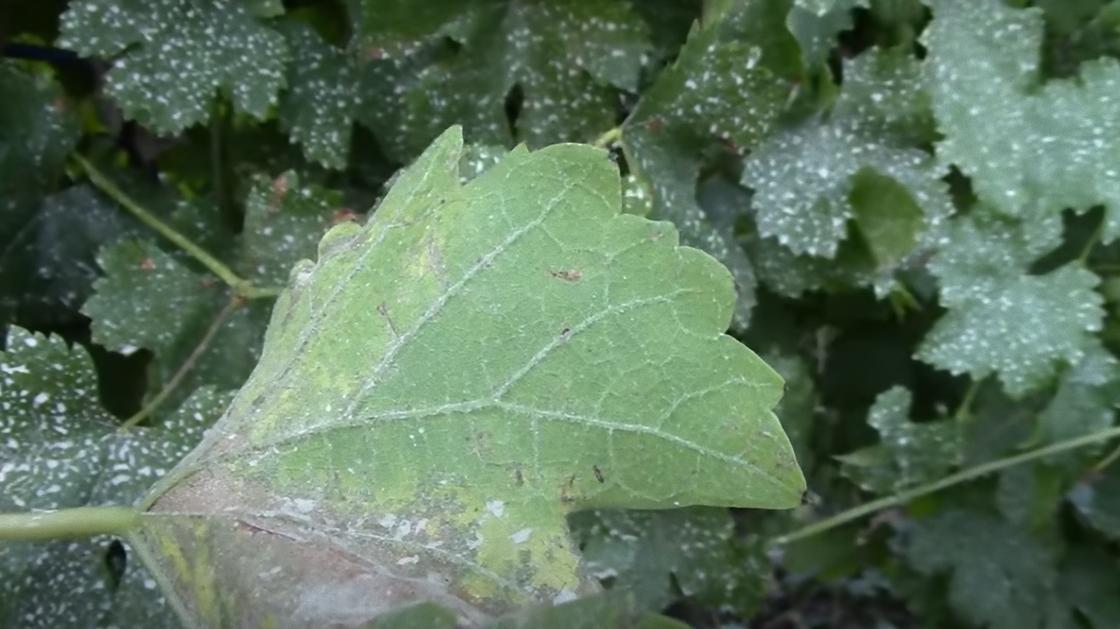 Белый налет на нижней части виноградного листа