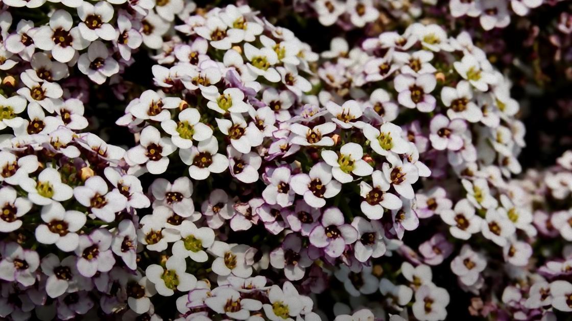 Мелкие цветки алиссума с бело-розовыми лепестками