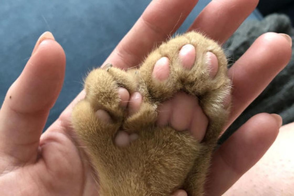 Американка показала кота с огромными лишними пальцами