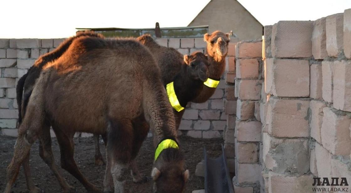 Светоотражающие ленты обязали повесить на домашний скот в Мангистау