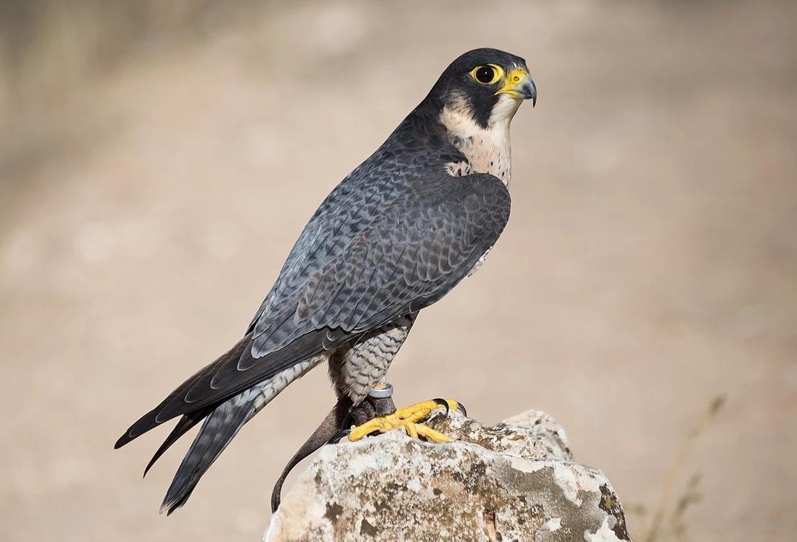 Птицы Казахстана, занесенные в Красную книгу