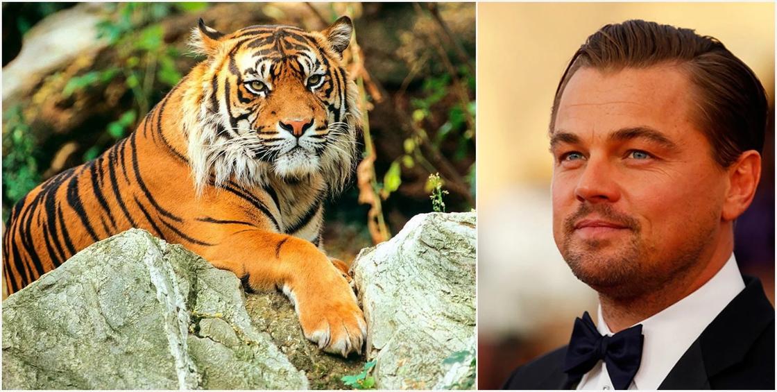 Ди Каприо выделит деньги на восстановление туранского тигра в Казахстане
