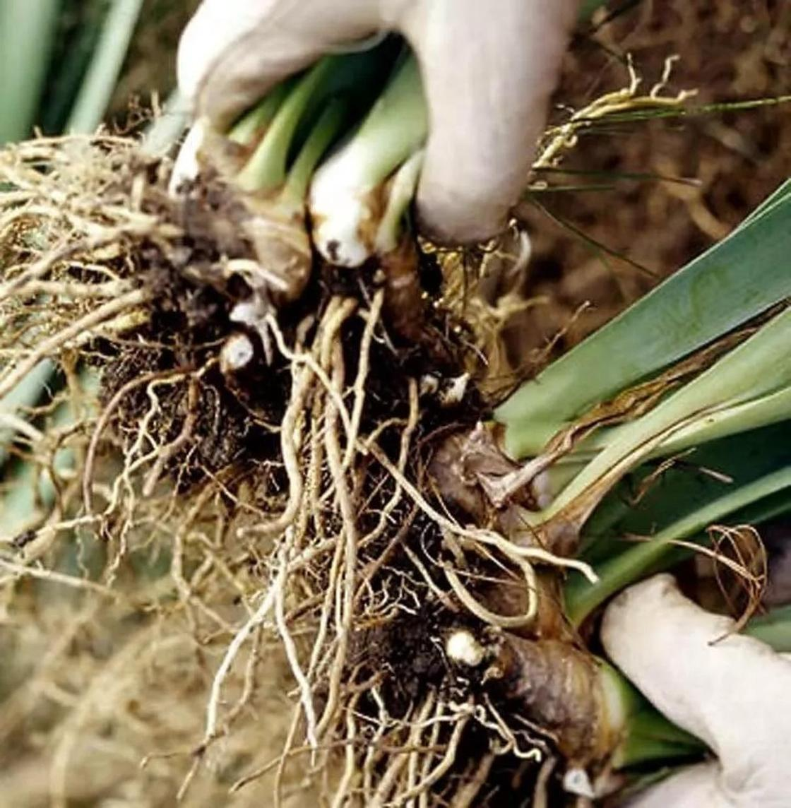 Размножение орхидеи делением корней