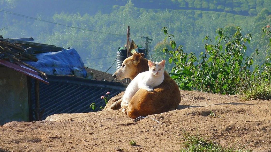Кошка лежит на собаке