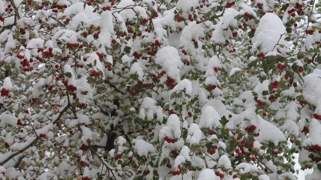 снег лежит на ветках дерева