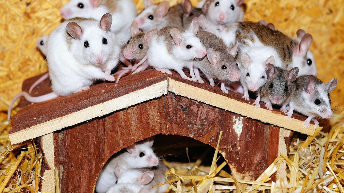 Мыши в домике