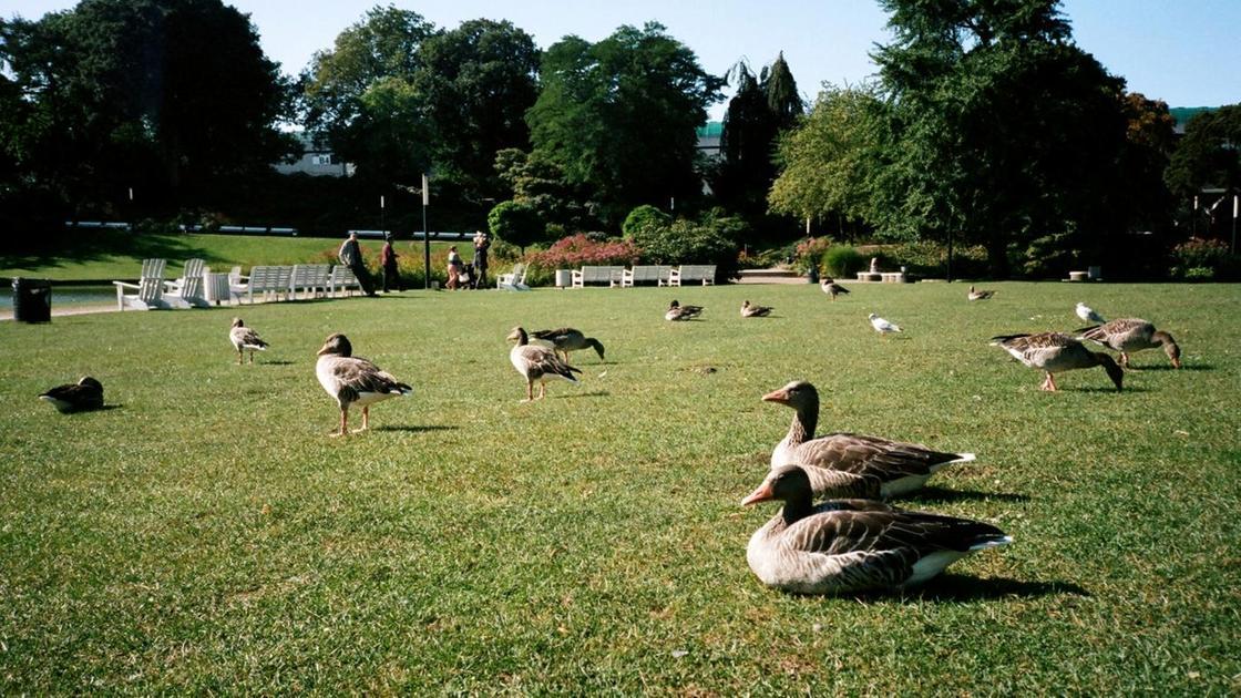 Дикие утки отдыхают на газоне