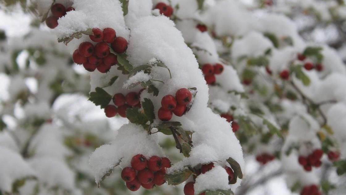 снег лежит на ветках рябины