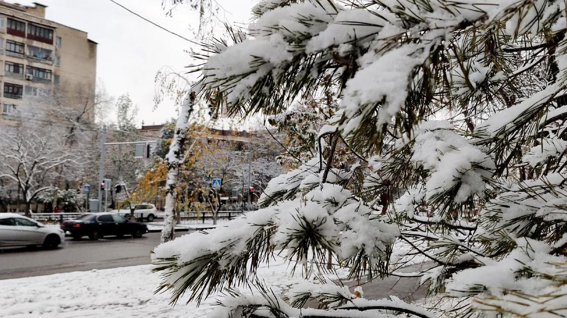 Ветки ели покрыты снегом