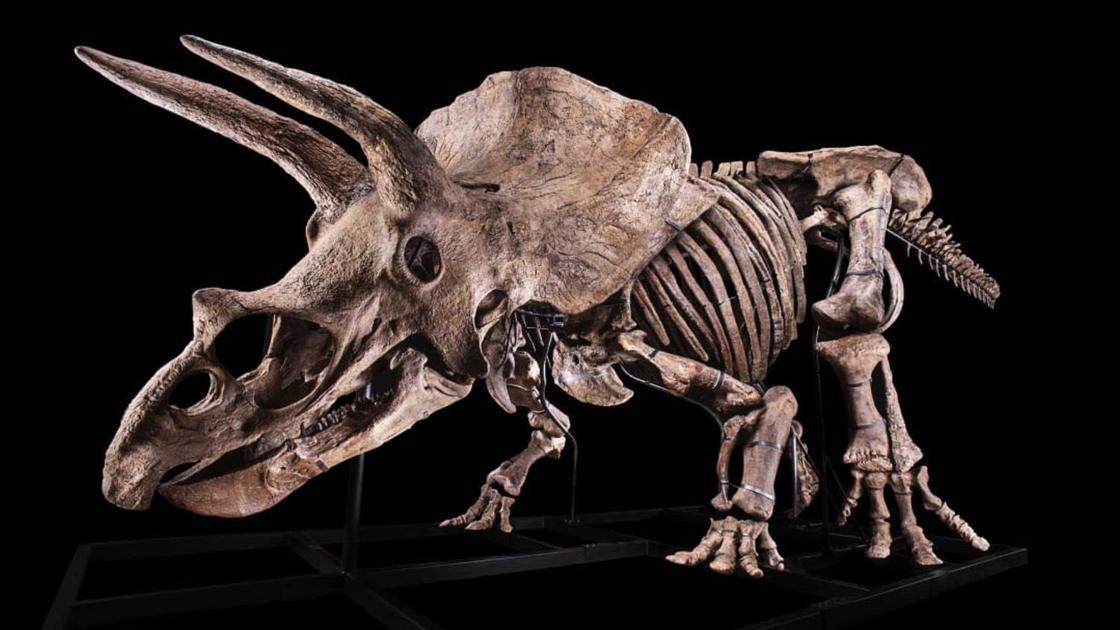 Самый большой скелет трицератопса в мире