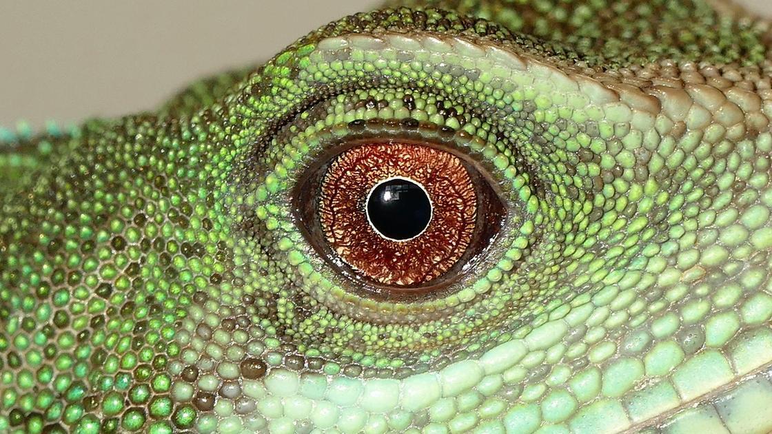 Глаз зеленой игуаны крупным планом