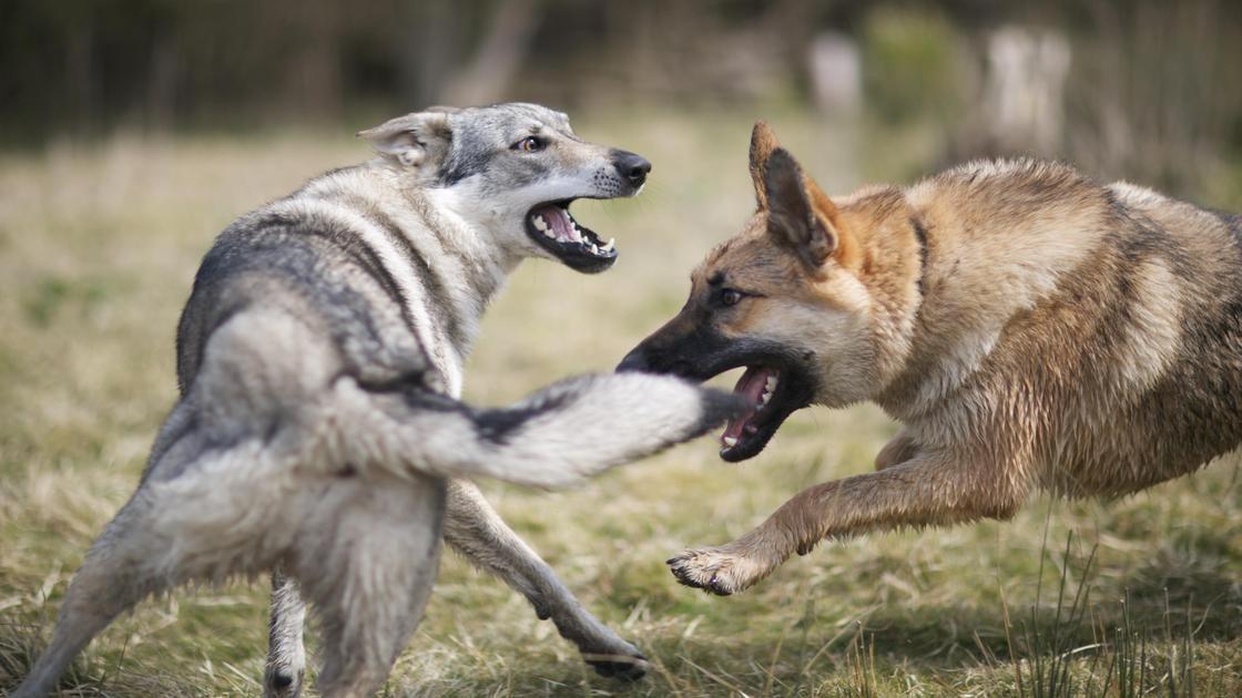 Драка двух собак