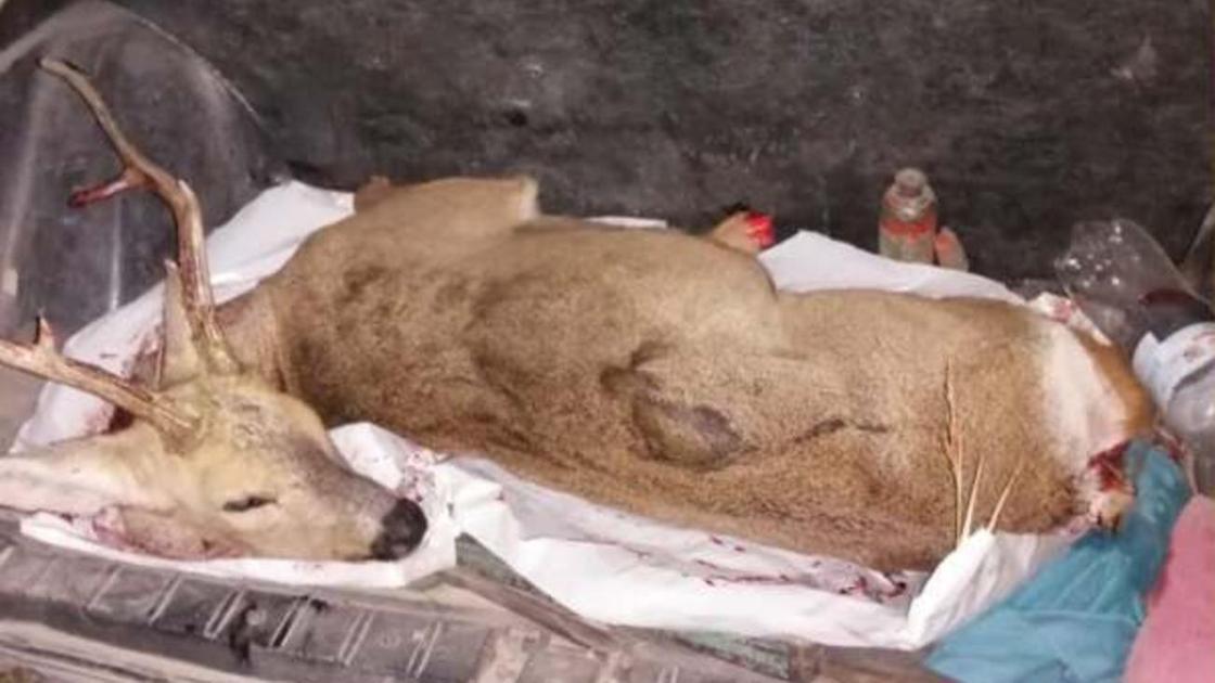 Убитая сибирская косуля лежит в багажнике